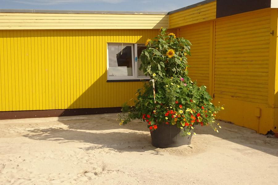 Ein großer Maurerkübel an der Rückseite des Dünenrestaurants ist überladen mit prächtig gedeihenden Blumen.