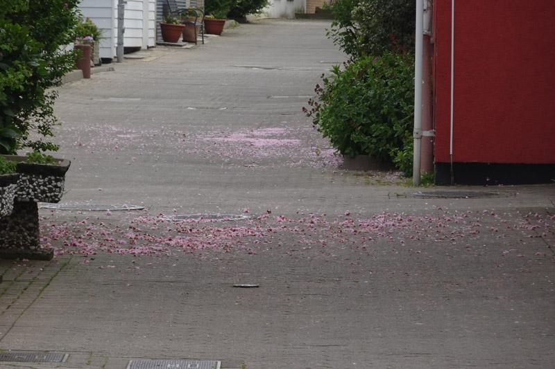 Kirschblütenblätter auf dem Pflaster des Rekwai auf Helgoland.