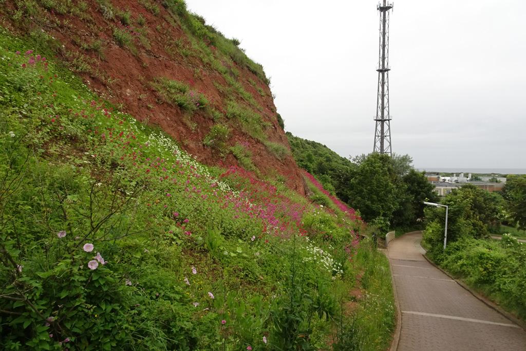 Von halber Höhe des Düsenjägerwegs auf Helgoland hinab fotografiert; mit vielen Blüten an der Ostseite.